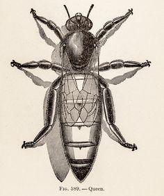 Retro Queen Bee Vintage Illustration
