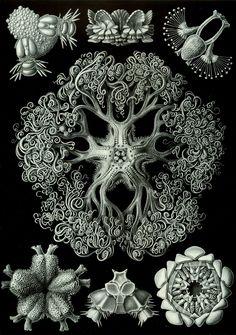 "Ernst Haeckel ""der Kunstformen der Natur (Art Forms of Nature)"" Astrophyton darwinium/Gorgonocephalidae sp., bottom view_Mysticism by way of Biology. Ernst Haeckel ""der Kunstformen der Natur (Art Forms of Nature)"" 1904 Arte Coral, Coral Art, Psychedelic Design, Ernst Haeckel Art, Site Art, Natural Form Art, Natural Design, Arte Popular, Patterns In Nature"