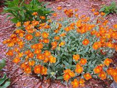 Helianthemum henfield brilliant.  Fleurit tout le mois de juin.  Des fleurs de couleur orange brûlée sur feuillage vert argenté.