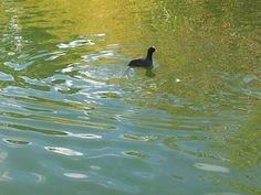 un pato posa, polvoranca