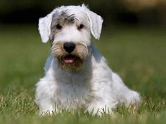 Chien Sealyham Terrier