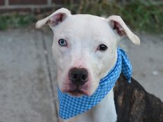 Brooklyn Center  BLUE - A1019365 ***SAFER: AVERAGE HOME***  MALE, BR BRINDLE / WHITE, PIT BULL, 9 mos STRAY - STRAY WAIT, NO HOLD Reason STRAY Intake condition EXAM REQ Intake Date 11/01/2014, From NY 11224, DueOut Date 11/04/2014,