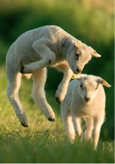 """♥I just learned from my friend who raises sheep that this is called """"popcorning"""". She described it as the sheep version of being so happy to be alive."""