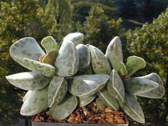 Adromischus cooperi of Crassulaceae family