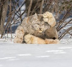 A Canada Lynx. Look at the size of those paws...