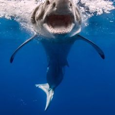 """""""Coming in for a landing!"""" - A male white shark (Carcharodon carcharias) makes a splash after a partial breach. Underwater Creatures, Underwater Life, Ocean Creatures, Orcas, Beautiful Creatures, Animals Beautiful, All Sharks, Shark Bait, Great White Shark"""