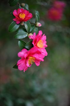 Visit a camellia show to be inspired by the queen of winter flowers. Make a note of the varieties you like for your next visit to the nursery.