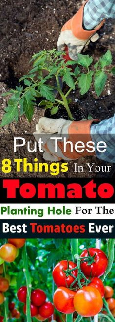 Put These 8 Things in Your TOMATO Planting Hole For The Best Tomatoes Ever Do you want to grow the best tomatoes in taste and size? And want to have a bumper harvest? Then put these things in the hole before planting your tomato plant! Veg Garden, Tomato Garden, Edible Garden, Lawn And Garden, Vegetable Gardening, Terrace Garden, Tomato Tomato, Veggie Gardens, Garden Tomatoes