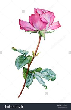 Watercolor with a Rose flower