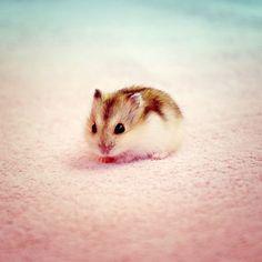 Baby hamster looks so tiny http://ift.tt/2i2WmHm