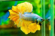 AquaBid.com - Archived Auction # fwbettashm1364981326 - ***best ...