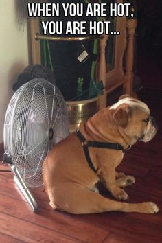 Watson had his own fan. And he KNEW it was his fan. If anyone else tried using it, he would come from anywhere in the house to plop directly in front of it. And 150 lbs took up A LOT of fan.