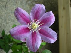 Clematis hybrids group ... www.clematis.be...Ragamuffin