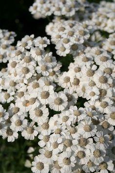De Tuinen van Appeltern - Plantenencyclopedie - Achillea ptarmica Major - Duizendblad - Wilde bertram