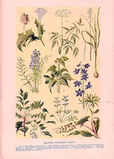 American Poisonous Plants - Antique Color Plate from 1906 Encyclopedia. $8