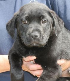 Meet Tubby 22142, a Petfinder adoptable Labrador Retriever Dog | Prattville, AL | Tubby is an 8-week-old male Lab/Pit Bull Terrier mix. He is black with a little bit of white on his...