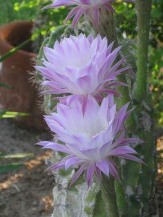 My Cactus Blooms