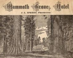 Mammoth Grove Hotel: Cathedral Grove | Big Trees: Pictures & Politics | Big Trees as Recreation