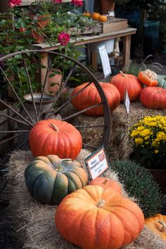 grow these in the garden - cinderella pumpkins / Autumn Leaves Fall Pumpkins, Grow Pumpkins, Cinderella Pumpkin, Fall Harvest, Fall Season, Fall Halloween, Autumn Leaves, Beautiful Flowers, My Favorite Things