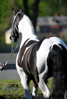 Black and white Friesian