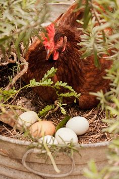 hen and eggs / Farm Friends Country Farm, Country Life, Country Living, Hen Farm, Chickens And Roosters, Hens And Chicks, Farms Living, Chicken Eggs, Chicken Club