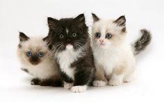 Birman-persian Kittens by Jane Burton