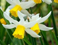 Narcissus 'Jack Snipe' cyclamineus daffodil bulbs