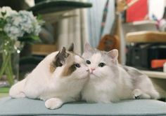 ✧ Cats Wallpapers ✧ Animals And Pets, Baby Animals, Funny Animals, Cute Animals, Kittens Cutest, Cats And Kittens, Cute Cats, Pretty Cats, Beautiful Cats