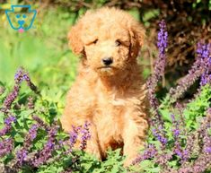 Gumby | Goldendoodle - Miniature Puppy For Sale | Keystone Puppies Goldendoodle Miniature, Miniature Puppies, Goldendoodle Puppy For Sale, Puppies For Sale, Miniatures, Dogs, Animals, Animales, Animaux