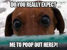 you REALLY expect me to poop out here? Reminds me so much of our dachshund Edison! He hated going out in the cold/rain! Dachshund Funny, Dachshund Love, Funny Dogs, Funny Animals, Cute Animals, Daschund, Dachshund Puppies, Animal Memes, Baby Animals