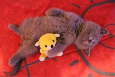ぬいぐるみが好きな猫達 07|ねこLatte+