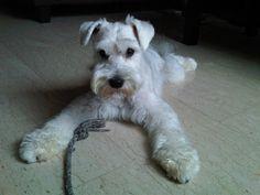 White schnauzer puppy!