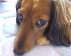 longhair miniature dachshund Lila.    Looks exactly like my Tommy!!
