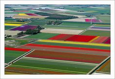 flying over tulip fields