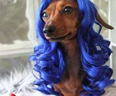 Pet Hair Wigs Maybe your pet is born with it, maybe it's Maybelline, or maybe your pet is just wearing these luscious hair wigs designed specifically for cats and small dogs. With everything from cute bangs to Katy Perry style blue locks, your pet will easily look like a fabulous diva. Buy It $39.00