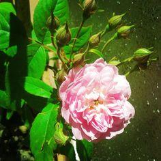 Rosa de Santa Teresinha - Maio 2015