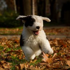 A sister for Claire? Six Old English Sheepdog Puppy Puppies And Kitties, Cute Puppies, Cute Dogs, Doggies, Sheep Dog Puppy, Dog Cat, Sheep Dogs, Old English Sheepdog Puppy, Puppy Breath
