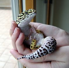 Leopard Gecko :) So cute!
