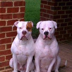 Full grown american bulldogs - photo#13