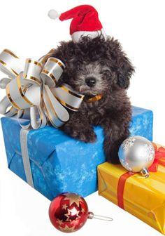 Cesar's Top 9 Holiday Tips for Dogs | Dog Whisperer Cesar Millan