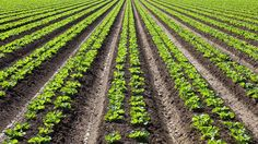 Águas de Pontal: Agricultura orgânica não é necessariamente melhor ...