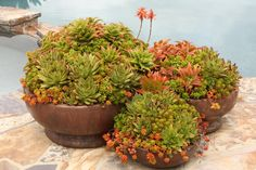 Six Sux for my Show-and-Tell Debra Lee Baldwin Plants, Echeveria, Plant Gifts, Succulents In Containers, Agave, Container Gardening, Coastal Gardens, Succulent Pots, Garden Club