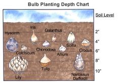 Great info on how-to plant flower bulbs! #gardening #howto #flowers