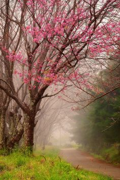 ~~Wild Himalayan Cherry Tree ~ Doi Inthanon National Park, Chingmai, Thailand by Thanes G. Beautiful World, Beautiful Places, Beautiful Scenery, Doi Inthanon National Park, Tree Forest, Forest Trail, Forest Path, Forest Road, Belle Photo