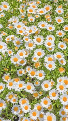 Daisy Wallpaper, Look Wallpaper, Flower Iphone Wallpaper, Cute Patterns Wallpaper, Iphone Background Wallpaper, Scenery Wallpaper, Aesthetic Pastel Wallpaper, Nature Wallpaper, Aesthetic Wallpapers