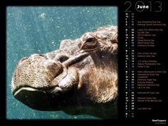 Hippo Dip (ShutterStock)