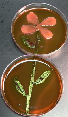 Escherichia coli and Salmonella paratyphi Flower on 2 EMB plates.  submitted on Microbeworld.org by Joshua A. Johnson