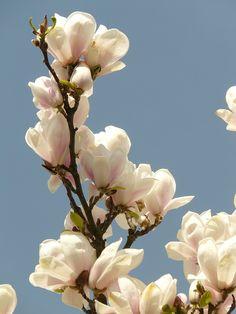 Magnolia. PD