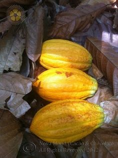 From Tree to Bar! Find out more... click on through...! :-)    Nova Monda Cacao & Chocolate - Google+