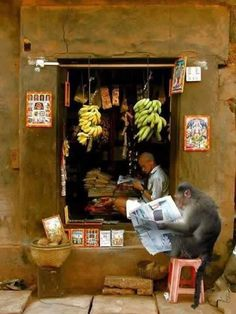 Readers ... monkey reading outside - Kala Ksetram, India